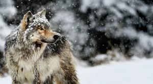 Bad wolf 2
