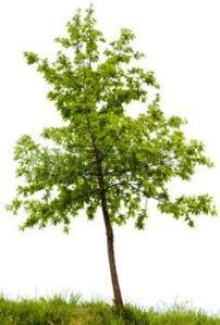 small-oak-tree-isolated-on-white-background