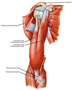 Bicep tendon